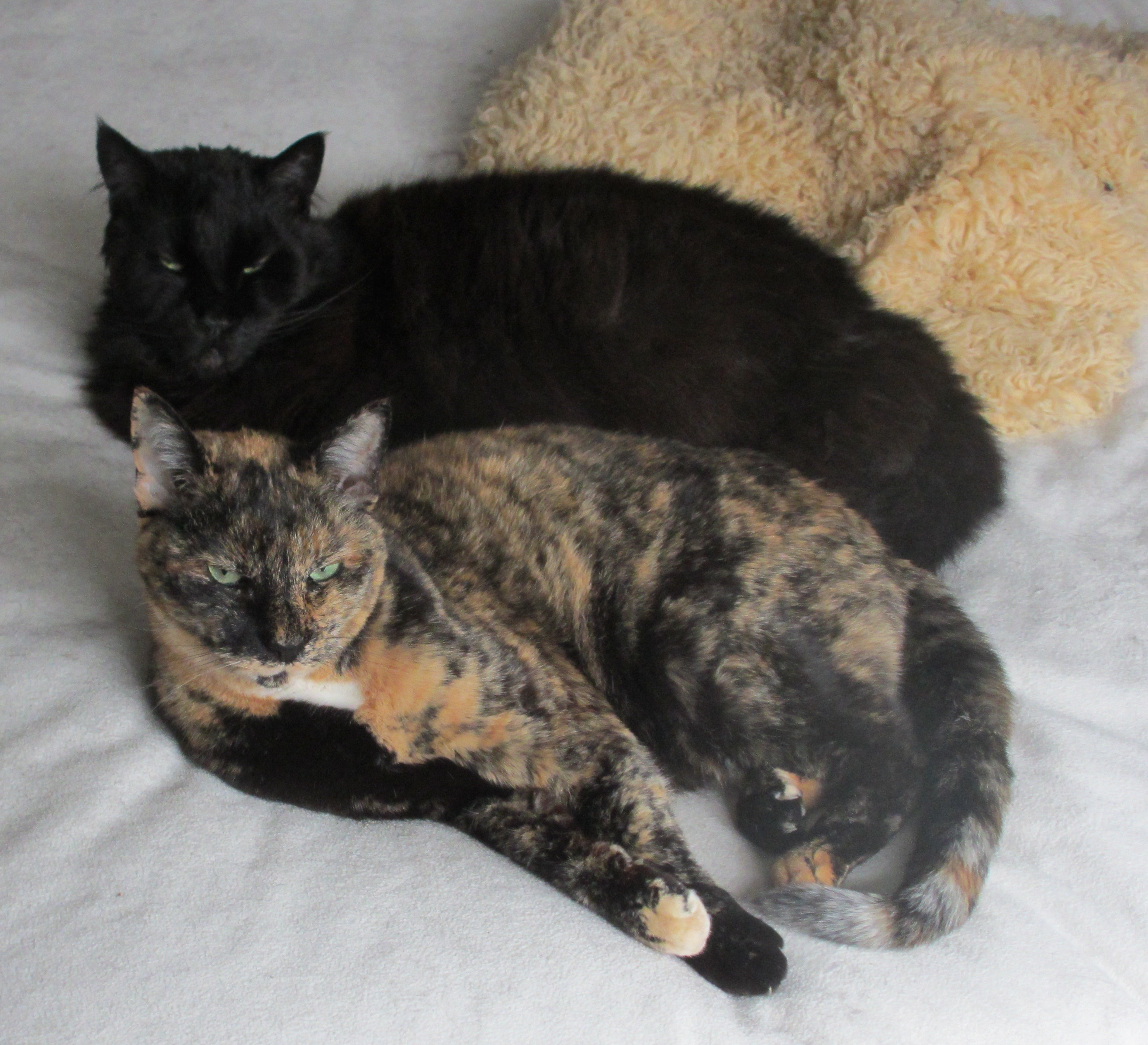 Two cats (one tortoiseshell, one black Maine Coon) curled up together, looking at the camera